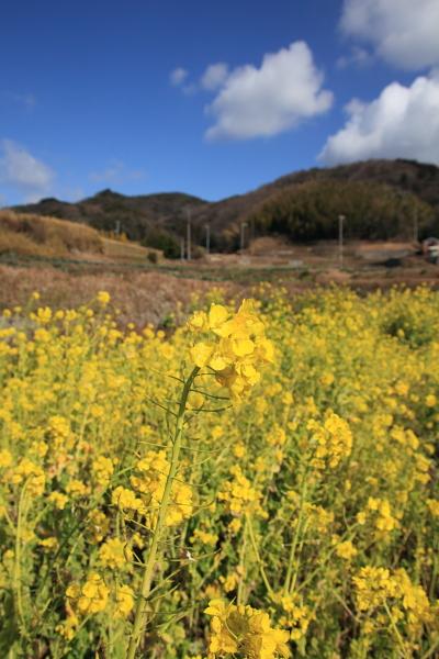 淡路島菜の花畑