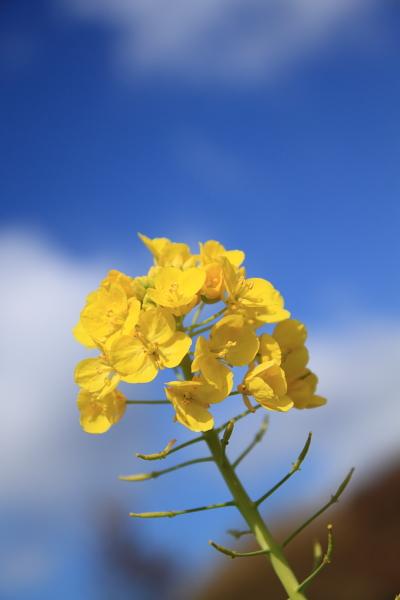 淡路島菜の花畑2
